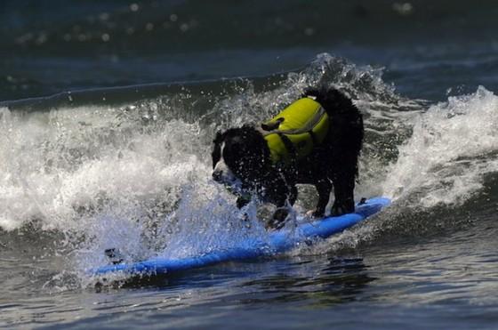 Hond surft