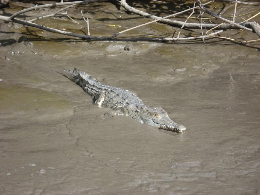 croc in de line up